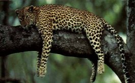 Leopard resting on a tree - by Climbing Mount Kenya Expeditions