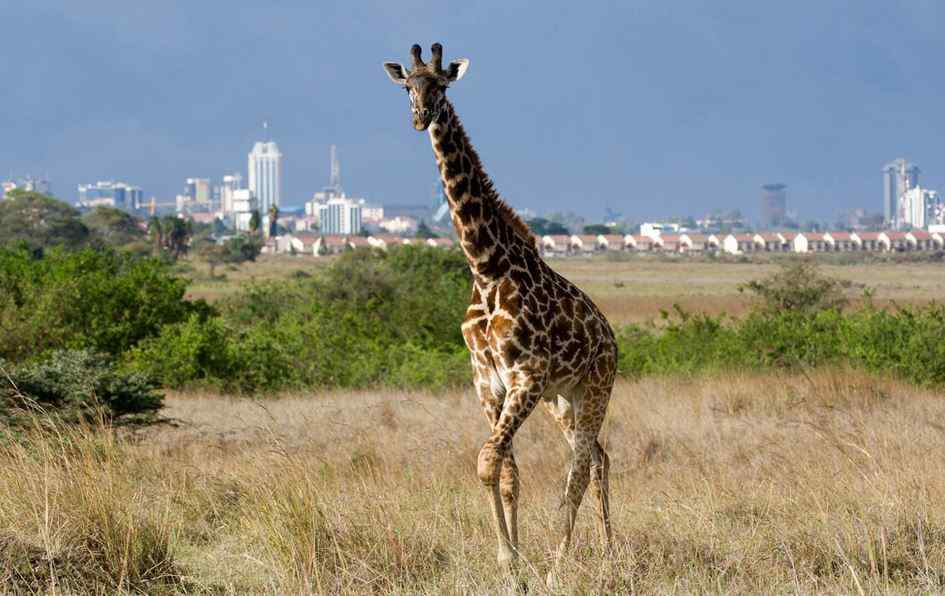 Nairobi city excursions with Giraffe during Nairobi National Park tour